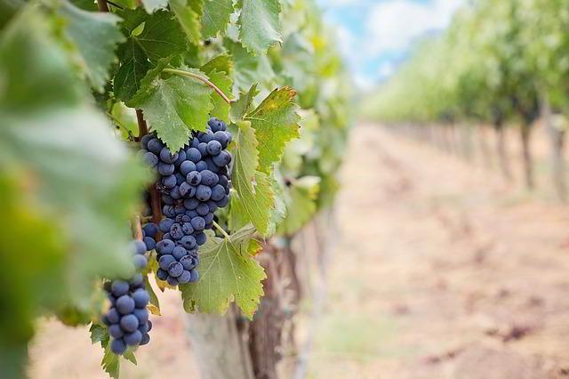 Plantacja winogrona